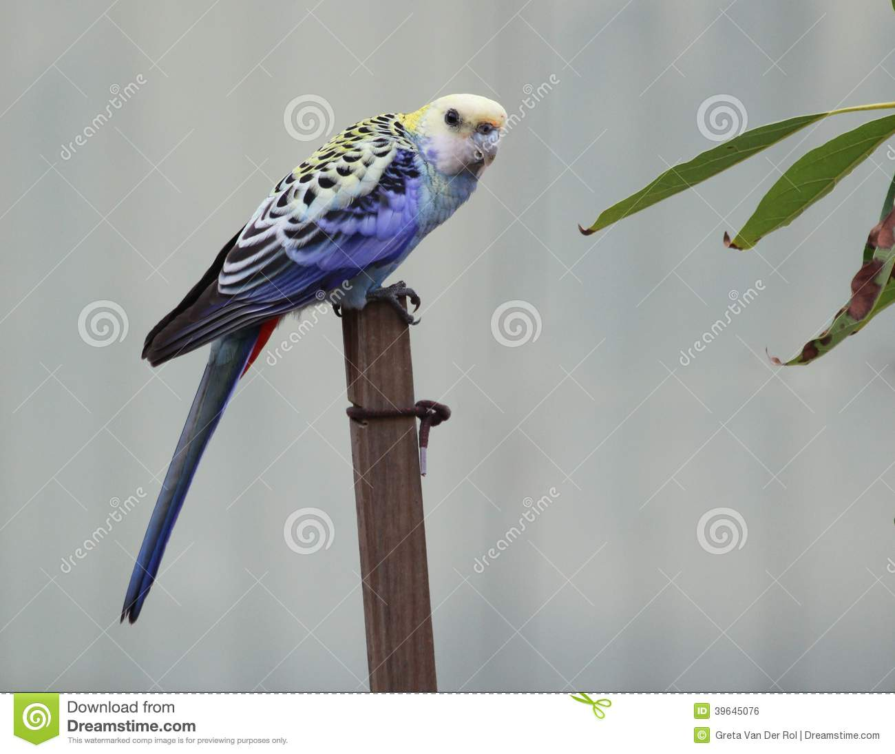 Pale-headed Rosella clipart #6, Download drawings