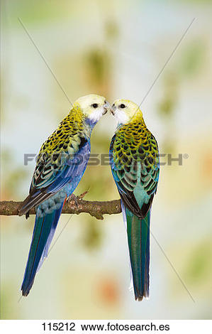 Pale-headed Rosella clipart #7, Download drawings