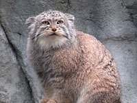 Pallas's Cat coloring #14, Download drawings