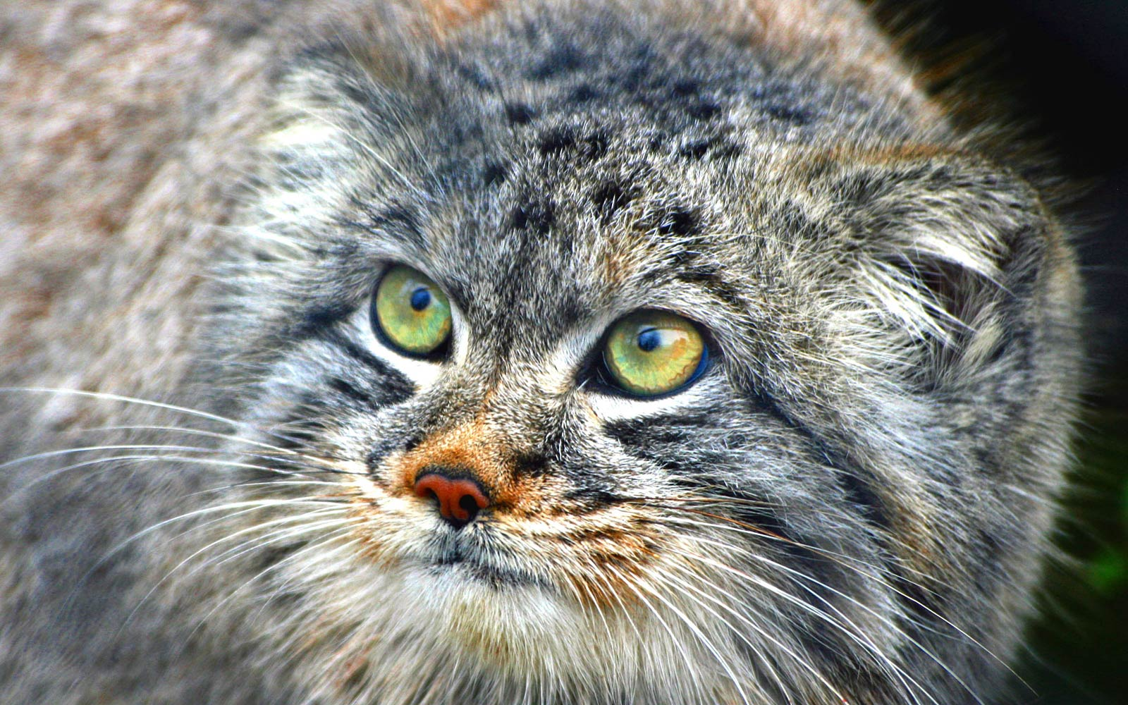 Pallas's Cat coloring #10, Download drawings