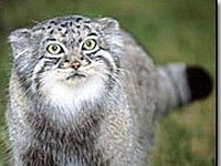 Pallas's Cat coloring #6, Download drawings