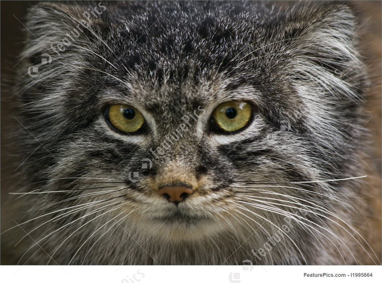 Pallas's Cat clipart #20, Download drawings
