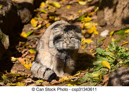 Pallas's Cat clipart #6, Download drawings