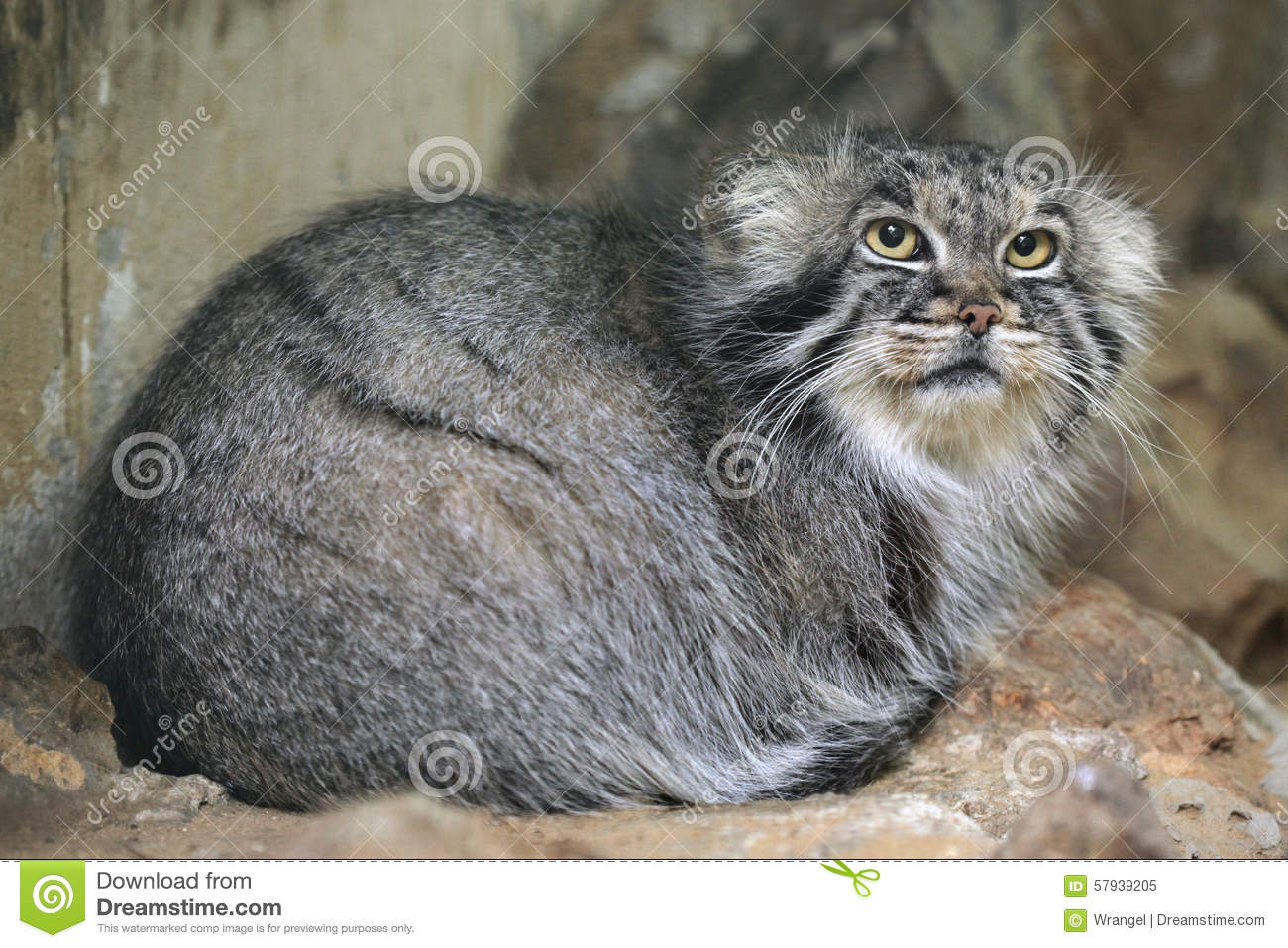 Pallas's Cat clipart #7, Download drawings