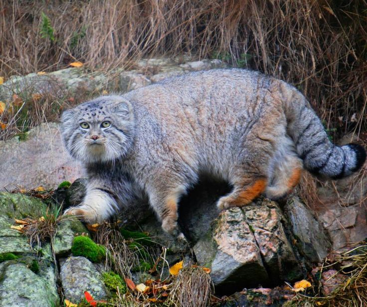Pallas's Cat clipart #11, Download drawings