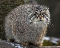 Pallas's Cat clipart #10, Download drawings