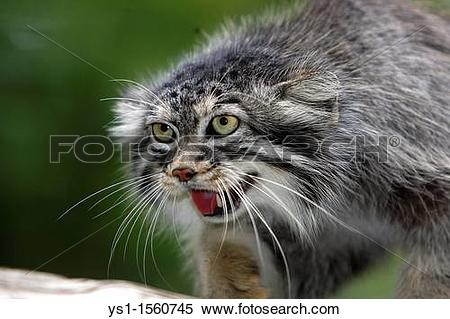 Pallas's Cat clipart #8, Download drawings