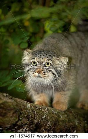 Pallas's Cat clipart #12, Download drawings