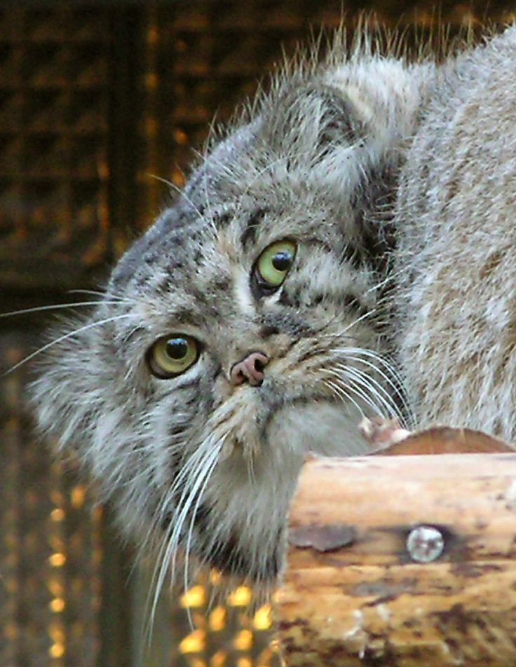 Pallas's Cat clipart #14, Download drawings
