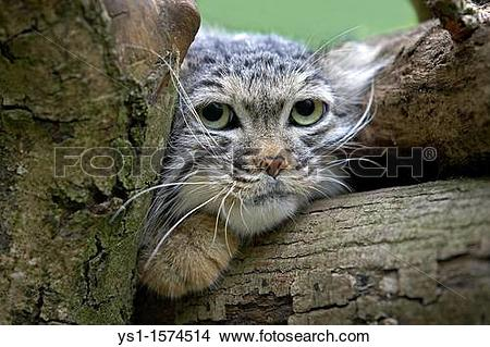 Pallas's Cat clipart #3, Download drawings