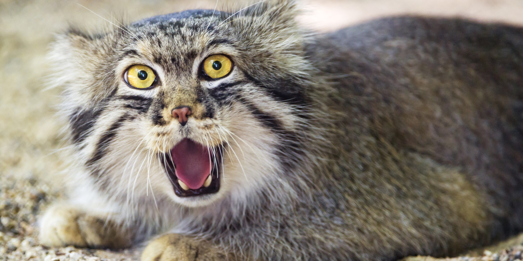 Pallas's Cat clipart #4, Download drawings