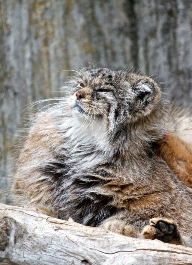Pallas's Cat coloring #9, Download drawings
