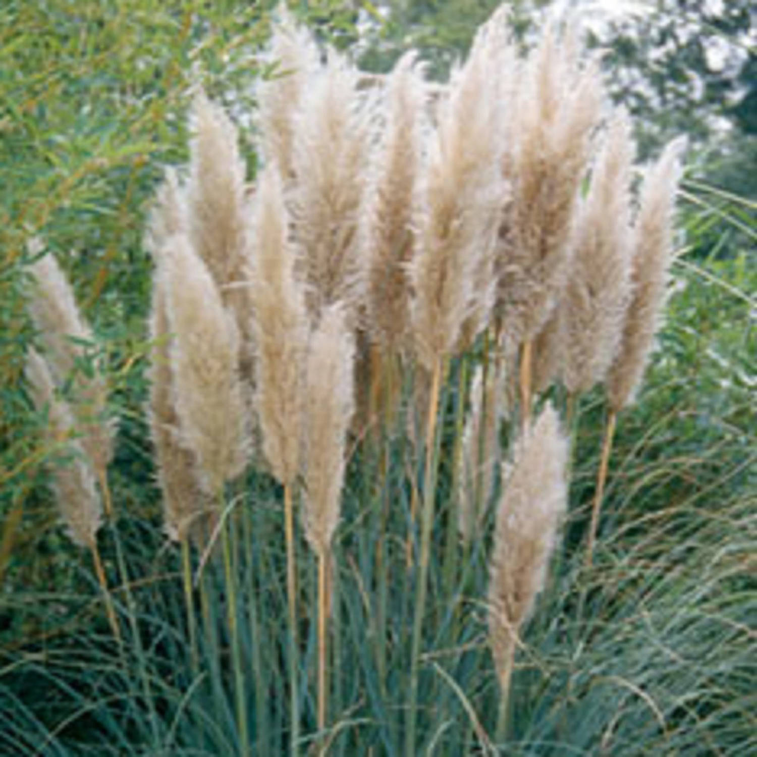 Pampas Grass coloring #1, Download drawings