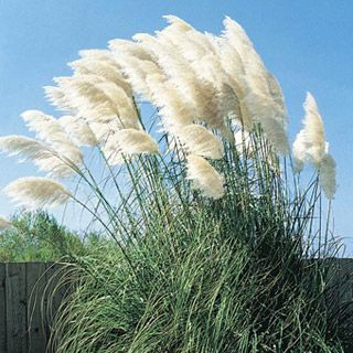 Pampas Grass coloring #16, Download drawings