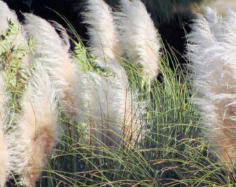 Pampas Grass svg #7, Download drawings