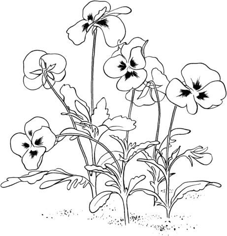 Pansy coloring #13, Download drawings