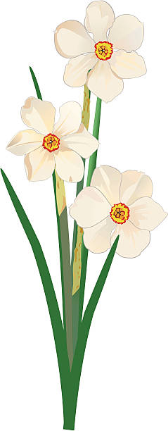 Paperwhite Narcissus clipart #6, Download drawings