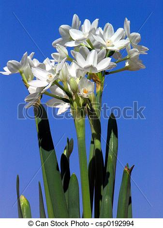 Paperwhite Narcissus clipart #9, Download drawings