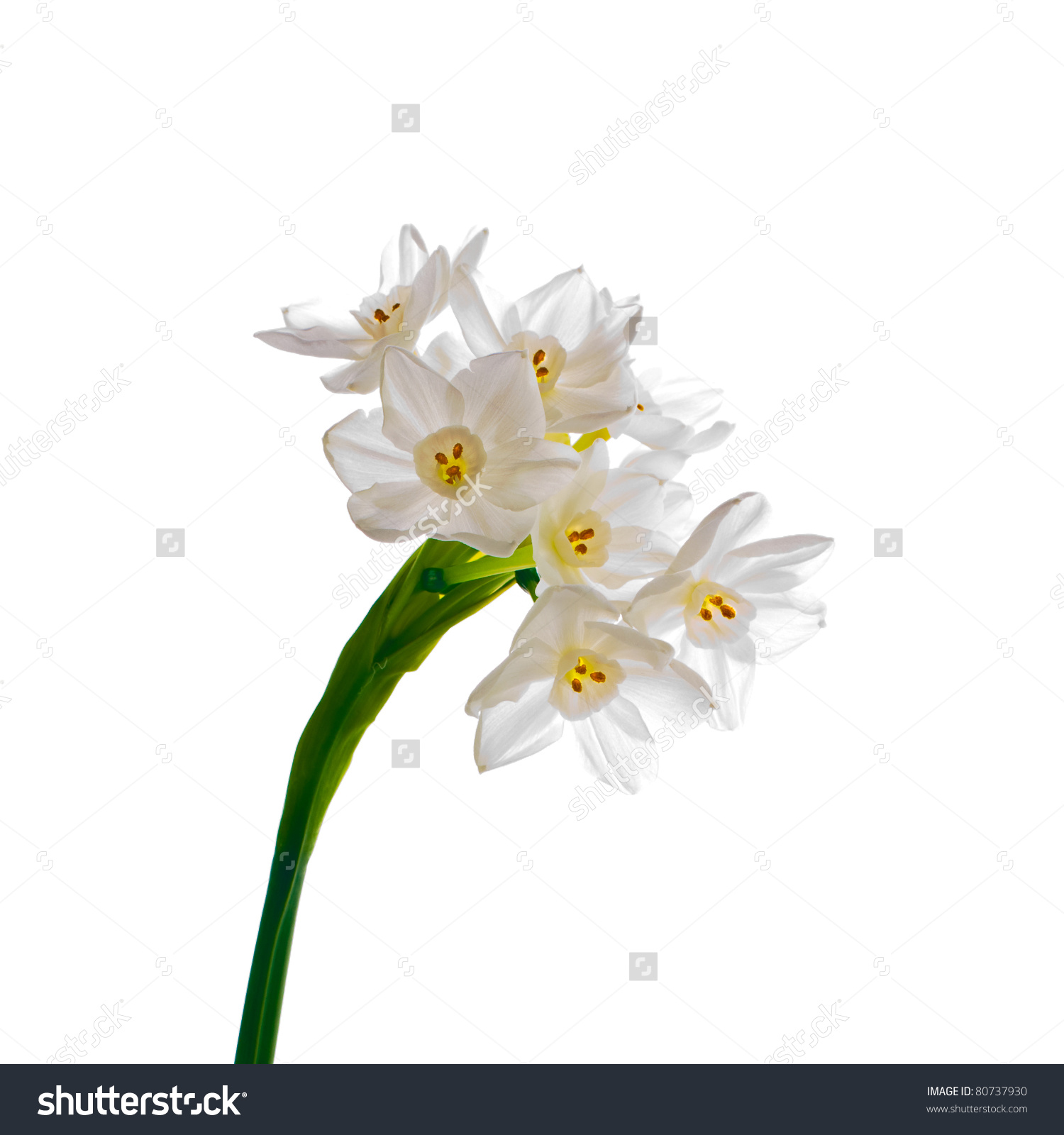 Paperwhite Narcissus clipart #1, Download drawings