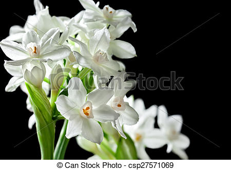 Paperwhite Narcissus clipart #7, Download drawings