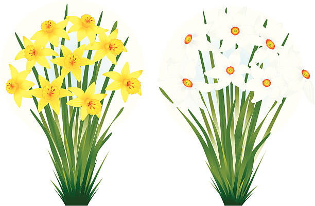 Paperwhite Narcissus clipart #17, Download drawings