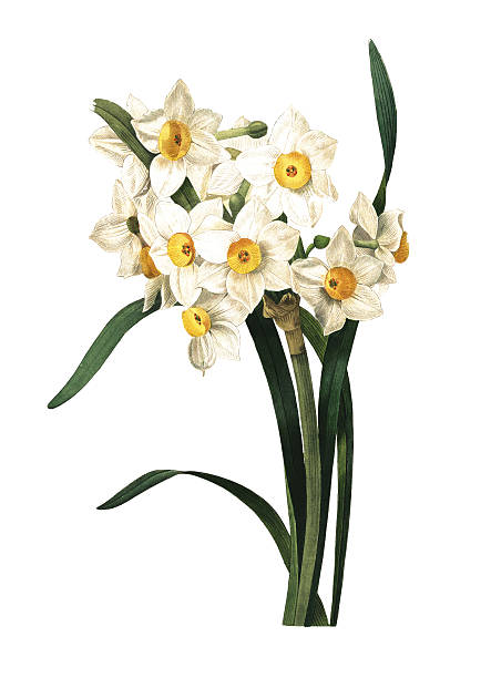Paperwhite Narcissus clipart #19, Download drawings