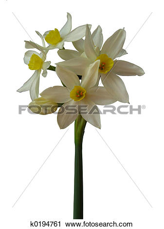 Paperwhite Narcissus clipart #16, Download drawings