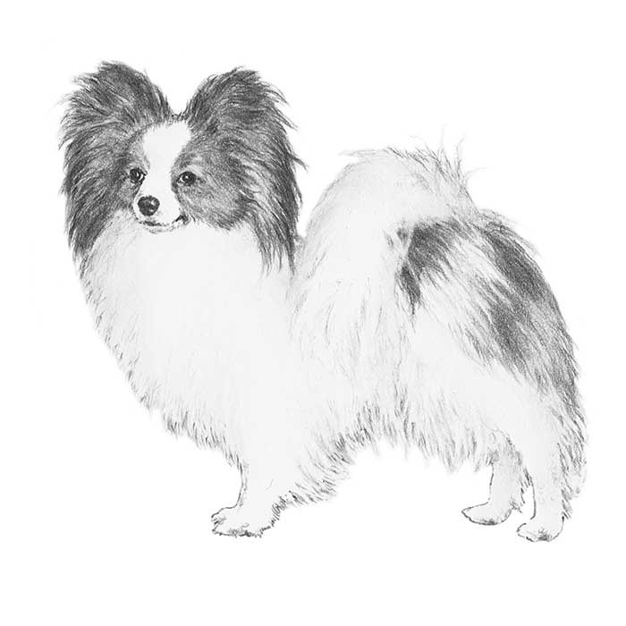 Papillon coloring #12, Download drawings