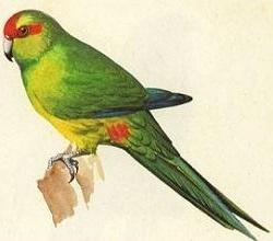 Parakeet clipart #11, Download drawings