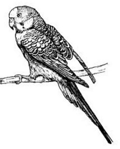 Parakeet clipart #16, Download drawings