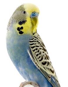 Parakeet clipart #17, Download drawings