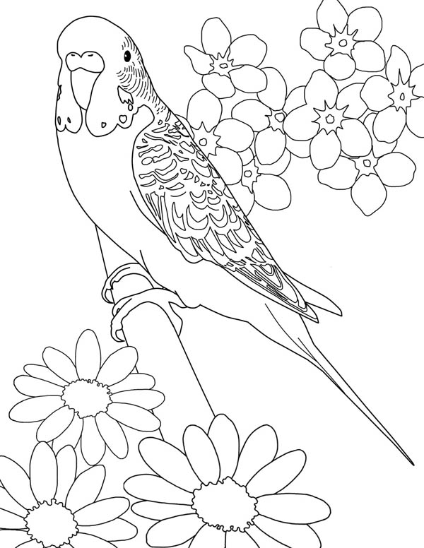 Parakeet coloring #6, Download drawings