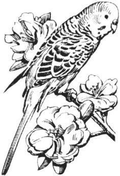 Parakeet coloring #13, Download drawings