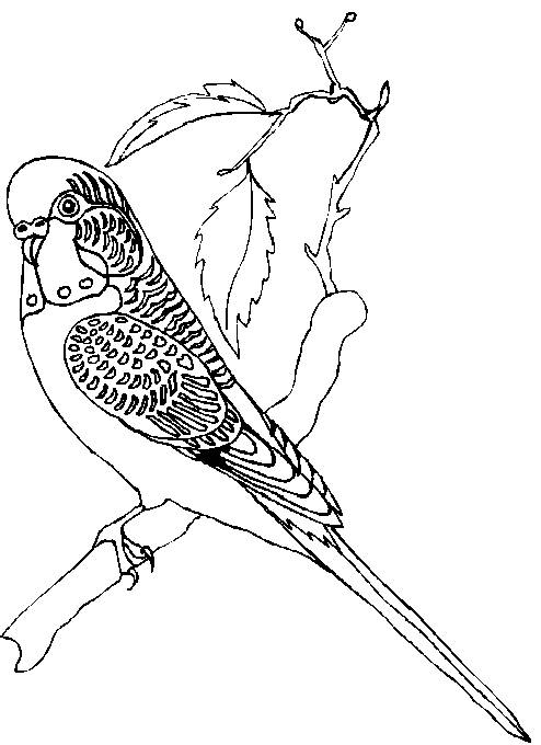 Parakeet coloring #2, Download drawings