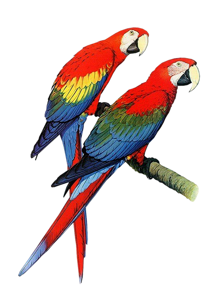 Parrot clipart #1, Download drawings
