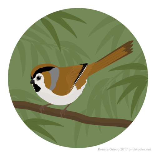 Parrotbill clipart #13, Download drawings