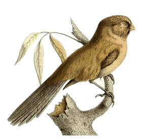 Parrotbill clipart #11, Download drawings