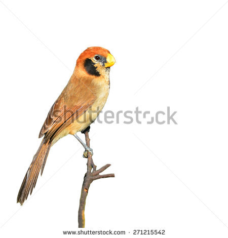 Parrotbill clipart #18, Download drawings