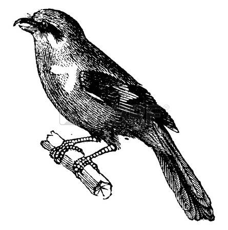 Passerine clipart #13, Download drawings