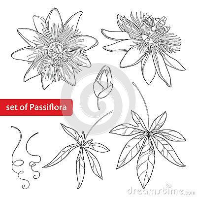 Passiflora coloring #12, Download drawings