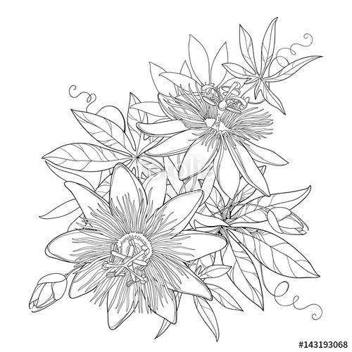 Passiflora coloring #10, Download drawings