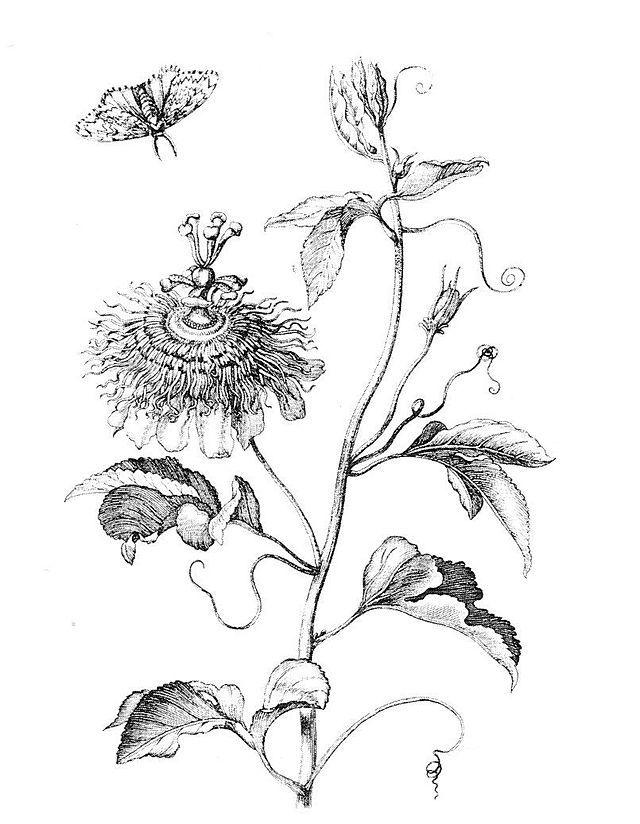 Passiflora coloring #9, Download drawings