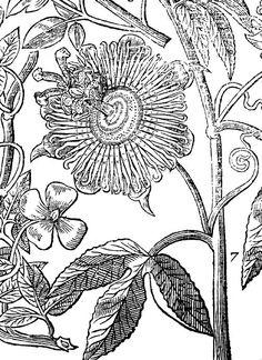 Passiflora coloring #7, Download drawings
