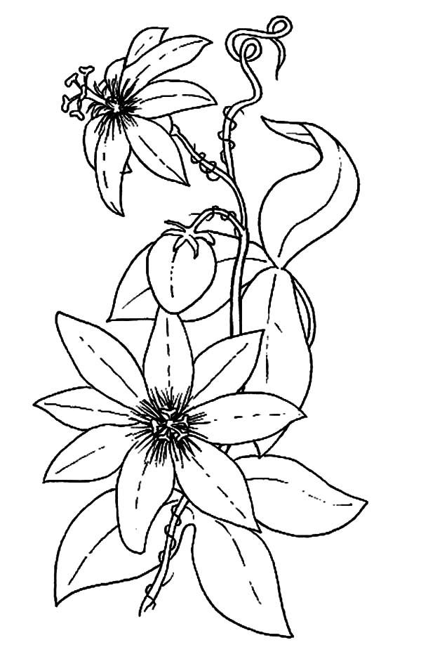 Passiflora coloring #6, Download drawings