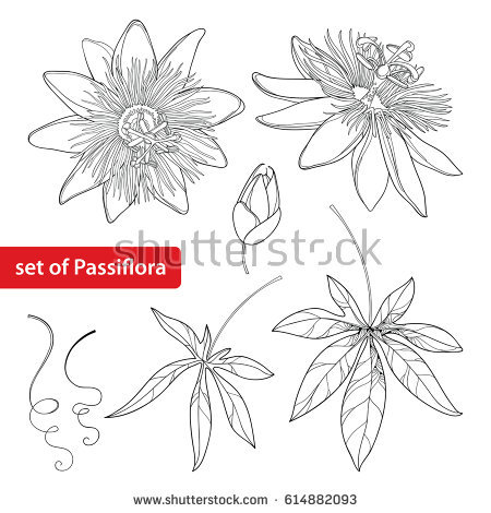 Passiflora coloring #15, Download drawings