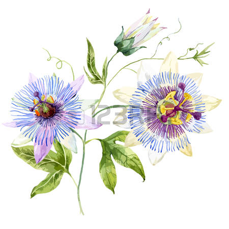 Passion Flower clipart #8, Download drawings
