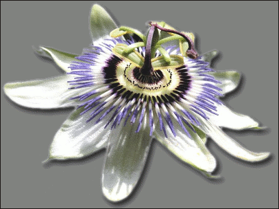 Passion Flower clipart #1, Download drawings