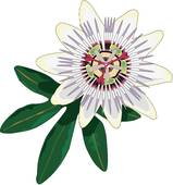 Passion Flower clipart #16, Download drawings