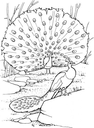 Peafowl coloring #4, Download drawings