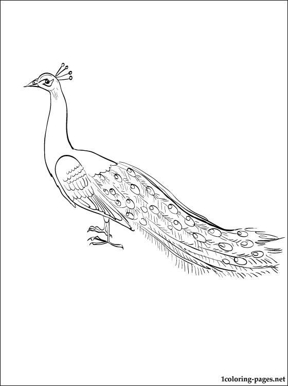 Peafowl coloring #3, Download drawings